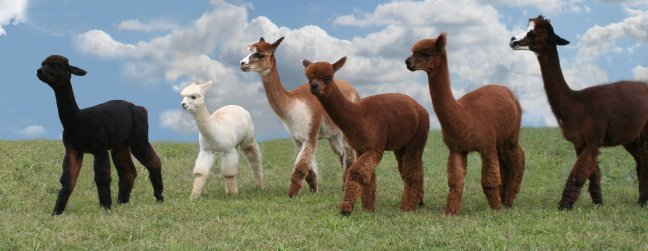 Arrow Acres Alpacas